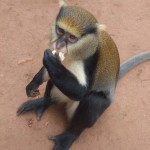 Mona monkeys at the Boabeng-Fiema Monkey Sanctuary in Ghana really do like eating bananas!