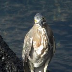 Striated Heron pupillary light reflex